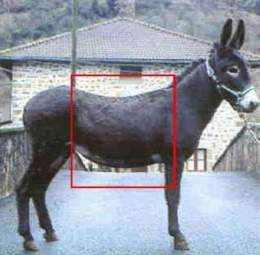 burro foto